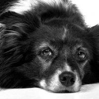 Liegender Hund, Nahaufnahme